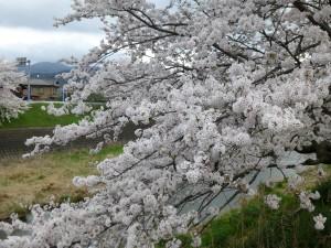 満開の桜に想いを寄せる