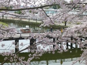 今年の彦根の桜・・・「4月5日撮影」