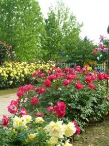 今年の薔薇の花は・・・