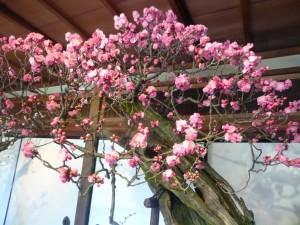 長浜・慶雲館の盆梅