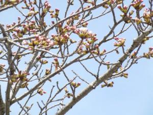 本日彦根市の桜の開花宣言がされました