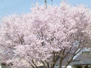 桜・・・その後の様子