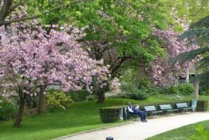フランスの桜