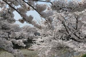 満開と聞き撮影に向かうも、春霞で桜の色が薄く映って・・・