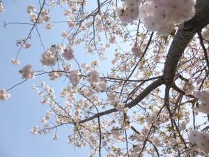 この華やかさ!!近くの平田川岸は満開の桜で見ごたえが!!
