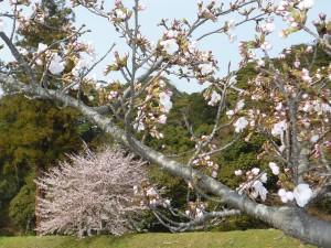 8年間の桜の写真の中から・・・
