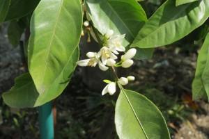 実山椒を摘み、ミカンの花の香りを嗅ぎ、柿の花の可愛さに見惚れ・・・