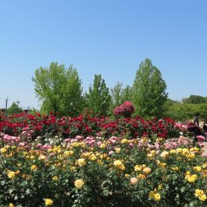 今年の庄堺公園のバラ